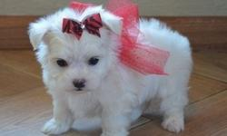 nowqddfeuhiu Teacup Maltese Puppies Male And Female