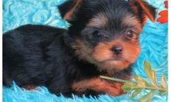 Nyango Full breed yorkie pups available