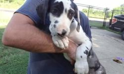 .Olka great dane Healthy and ready to go! very