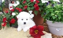Omaha miniature loved American Eskimo puppies in search of a