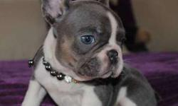 Ouny Blue French Bulldog Puppies