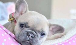Outstanding Girls and Boys French Bulldog Puppies