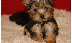 Pamela Full breed yorkie pups available