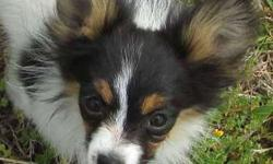 Papillon AKC Toy Puppy