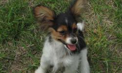 Papillon Boy Puppy