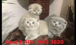 Pedigree Scottish Fold/straight Kittens