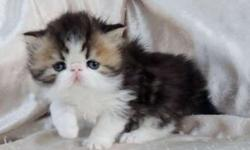 Persian Brown Tabby & White Male Kitten
