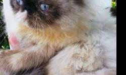 Persian kitten female under 1 year old for adoption