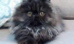 Persian kitten Solid Black Female READY TO GO