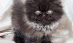 Persian kitten Solid Black Male READY TO GO