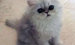 Persian Kittens available NOW