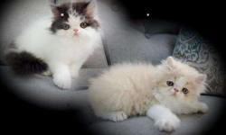 Persian kittens READY TO GO