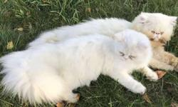 Persians - Male/Female