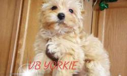 Platium Blonde Color Yorkie Female