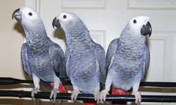 Playfull Talking African Grey Parrots