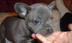 Playfuly Trained French Bulldog Puppies