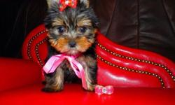 PNTTYKPS Passionate Teacup Yorkie Puppies