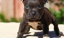 Pocket Bully Pit Bull.. 2xs American.. AVAILABLE