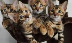 Positive Male/Female Bengal kittens For Sale