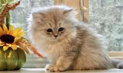 Powderpuff Persian kittens for sale