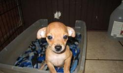 Precious Chihuahua Puppies 12 weeks, 1st shots, wormed