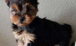 Precious Tiny Toy Yorkie Puppies microchipped, vet checked
