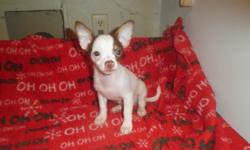 Pretty applehead Chihuahua puppies 12 wk.s 1st shots, wormed
