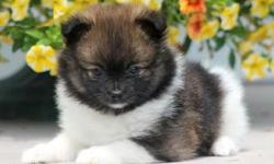 Pretty Teacup Pomeranian Pups For Sale