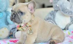 Priceless Girl and Boy French Bulldog Puppies