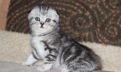 Priceless Scottish Fold kittens For Sale