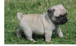 ==.... Pug Puppies ready to go now....===