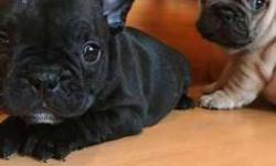 pups sired French bulldogs