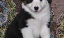 Pure Australian Shepherd Puppies for sale