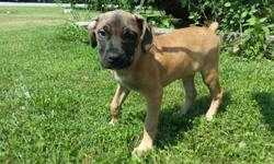 Pure Bred Cane Corso Puppy - 9 weeks Old