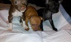 Pure Bred Chihuahua pups ..... ready in 2 weeks
