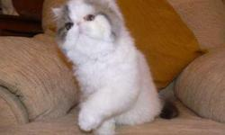 Pure Pedigree Persian Kitty's Boy and Girl Gccf Registered