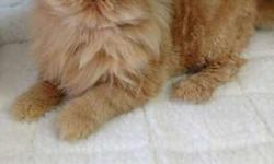Pure Persian Red Spayed Beautiful Cat -2 years old