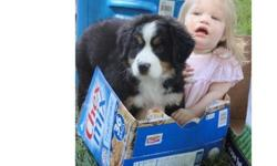 purebred bernese mountain dogs ready