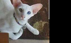 Purebred Oriental Shorthair Female
