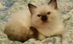 Purebred Tica Registered Seal Colorpoint Male Ragdoll Kitten