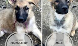 Purebred - Working Lines - German Shepherd Pups
