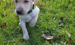 Purebred yellow male labrador puppy ready to go now with