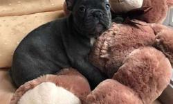 Purr Blue French Bulldog Puppies