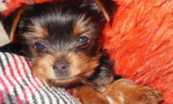 Quality Irish Tiny Yorkie Puppies Champion Lines for