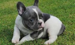 Quality M/F Blue French Bulldog Puppies