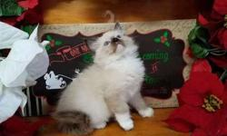 Ragdoll kittens *ready to go to new home now*