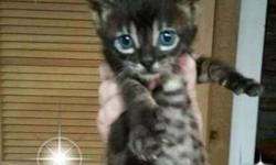 Rare Charcoal Bengal Kittens-Ready to go Now