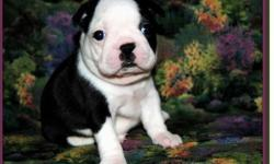 Ready To go boston terrier puppies Live now