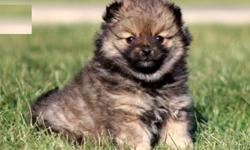 Real Teacup Pomeranian Pups For Sale