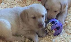Registered Lab Puppies